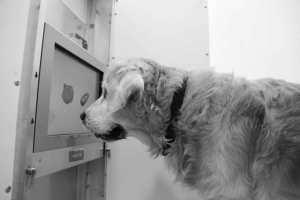 Los perros mayores pueden mejorar su calidad de vida con ejercicios de pantalla táctil